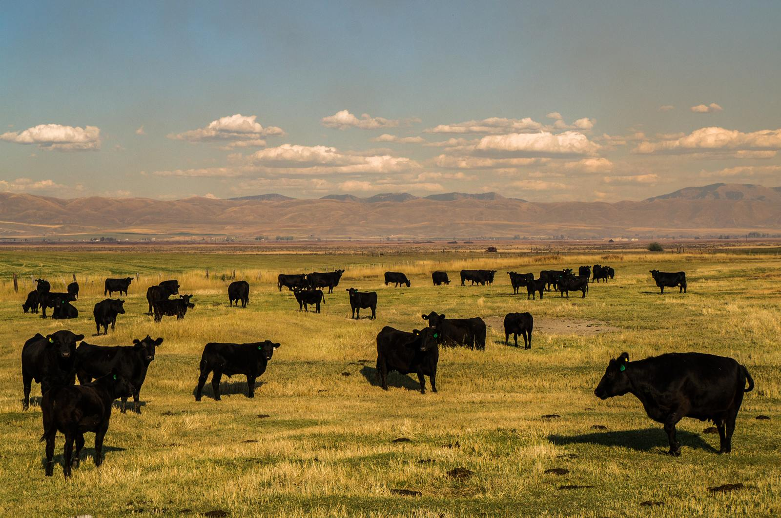 Photographe Paris Road Trip USA Cows of the bear lake